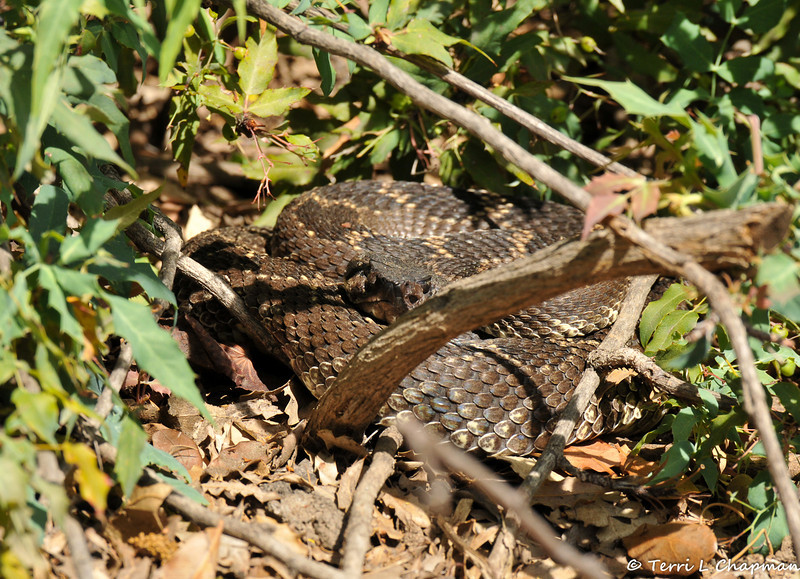 A Southern Pacific Rattlesnake resting by a Nevin's Barberry bush