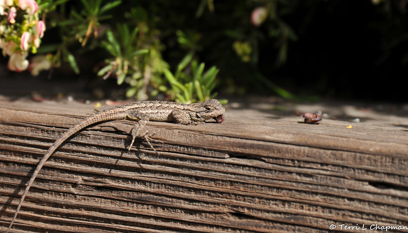 A young Western Fence Lizard resting its head on a flower seed