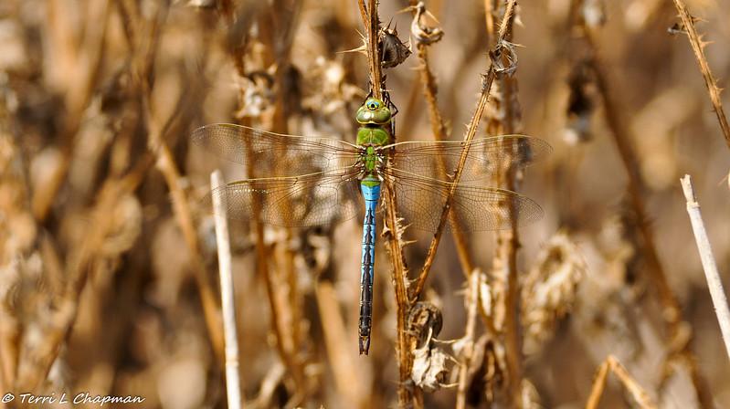 A Green Darner Dragonfly (male)