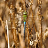 A Green Darner Dragonfly (male)
