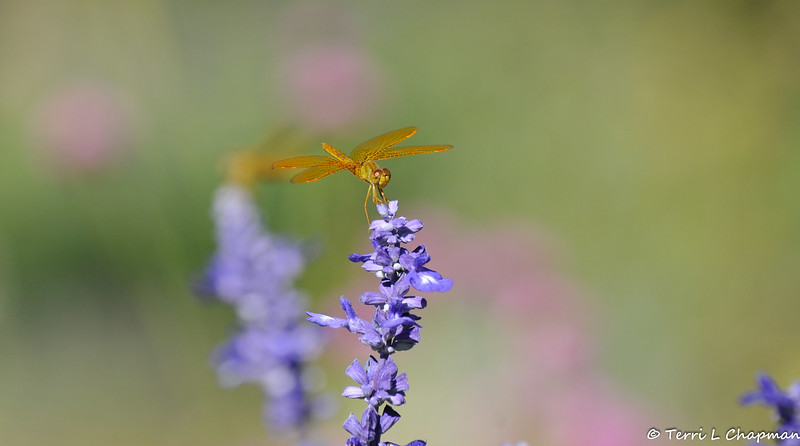 A Mexican Amberwing (Perithemis intensa) Dragonfly on the tip of a sage bloom. This dragonfly is native to the southwestern United States and Mexico.