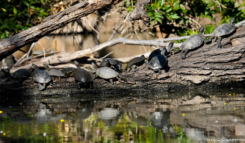 Red-earred Slider turtles sunning themselves on a fallen tree in a lake