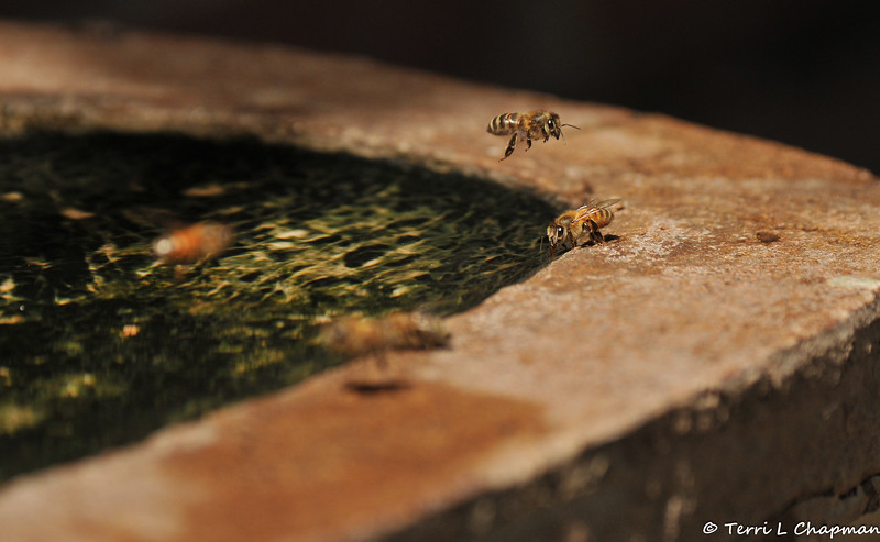 Hot day...thirsty Honey Bees... drinking from a shallow trough of water in my garden.