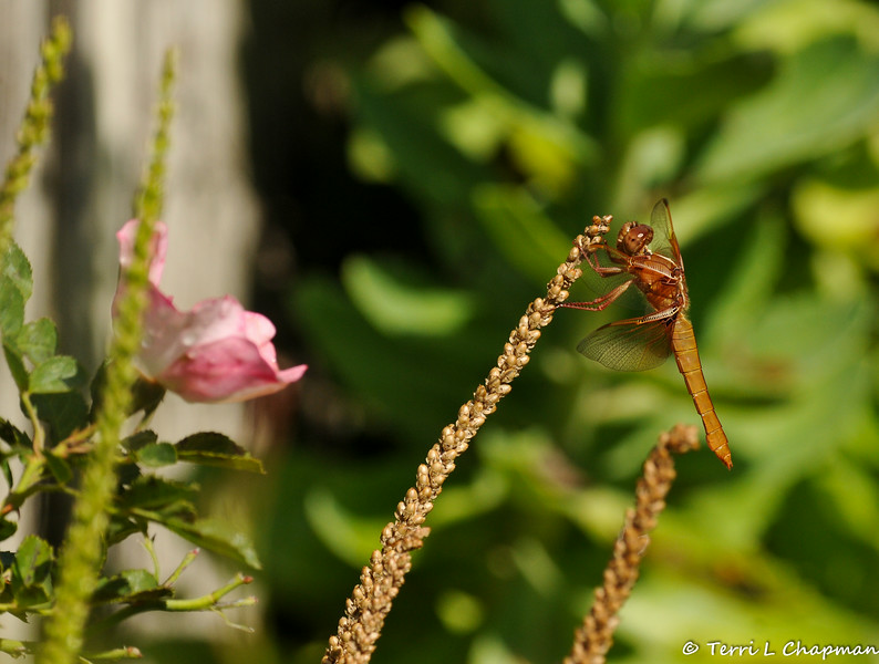 A Flame Skimmer Dragonfly