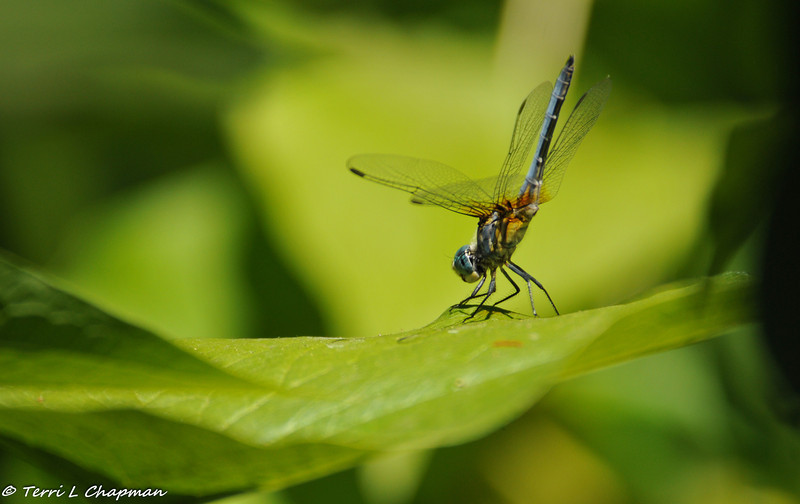 Blue Dasher Dragonfly
