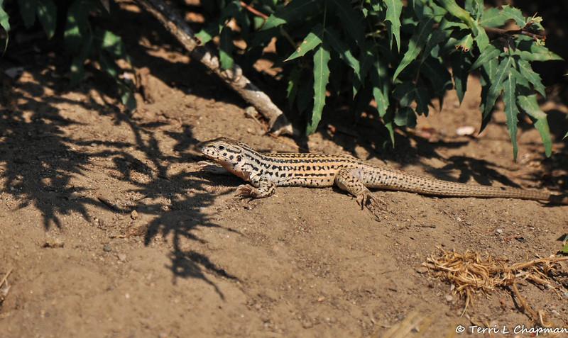 A beautiful Whiptail Lizard