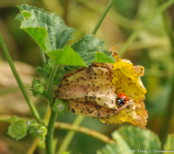 A Seven-spotted Ladybug on Cheeseweed