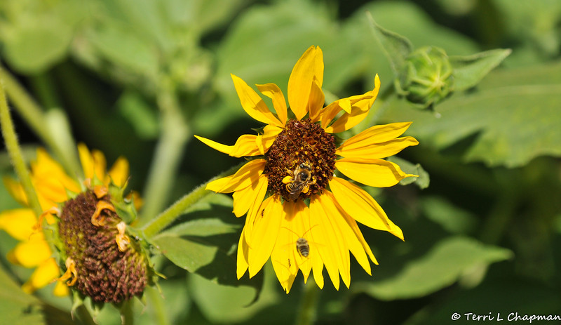 Long Horned Bees with a Sunflower