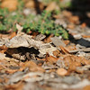 A Western Fence Lizard well camouflaged among the fallen leaves