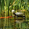 A Red-earred Slider turtle basking in the sun while a koi fish swims nearby