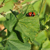 A breeding pair of Seven-spotted Ladybugs on Cheeseweed