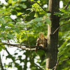 SAMPLING THE WOOD<br /> (Red Squirrel)