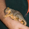 "4 WEEK OLD FOX SQUIRREL  ""PEACHES"""