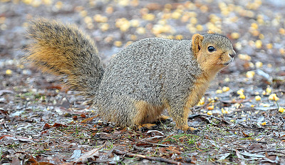 Lisa Yanick-Jonaitis - Morning Sun  Many of the squirrels in Nelson Park in Mt. Pleasant are curious, friendly and maybe overfed as a few park patrons have been offering the animals food; a practice the parks director does not condone and says could be detrimental in the long run.