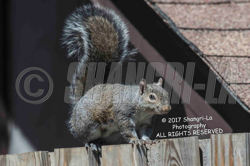 Chippy - Squirrel 03-19-2017_4BY3433 wm cm