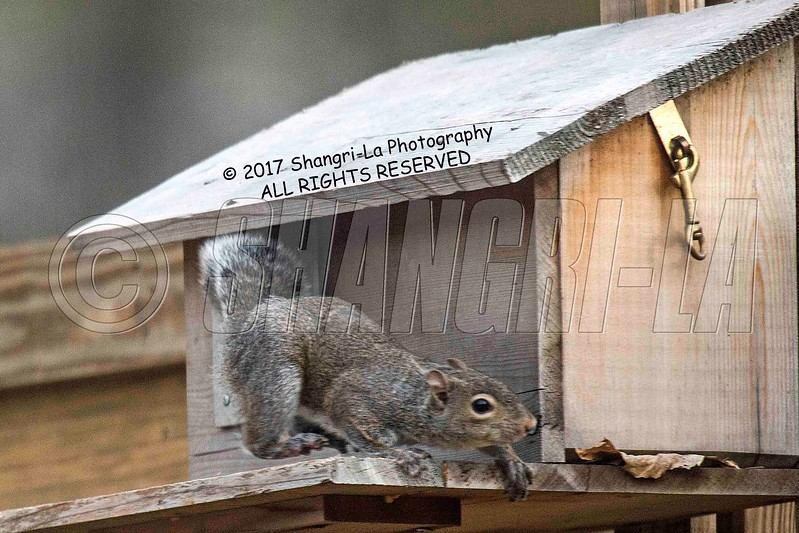 Chippy - Squirrel 03-20-2017_4BY3671 Protective mother wm cm