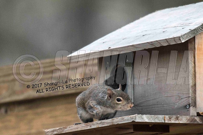 Chippy - Squirrel 03-20-2017_4BY3669 Protective mother wm cm
