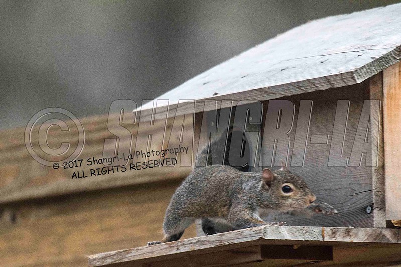 Chippy - Squirrel 03-20-2017_4BY3670 Protective mother wm cm