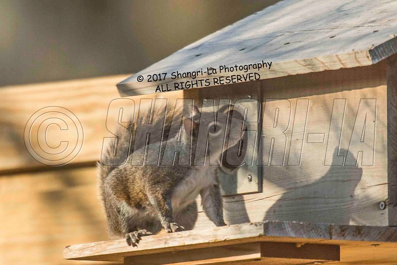 Chippy - Squirrel 03-20-2017_4BY4068 Protective mother wm cm