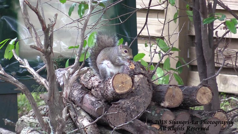 Mama Squirrel eating and resting on a warm afternoon!