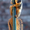 Baby squirrel can't quite make it up the pole