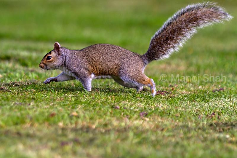 Grey Squirrel running to tree