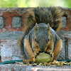 OCD Squirrel Eating A Green Pecan