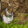 Grey Squirrel eating a tree fruit.