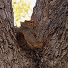 I was sneaking up on this squirrel taking a nap in the fork of my tree when he heard me