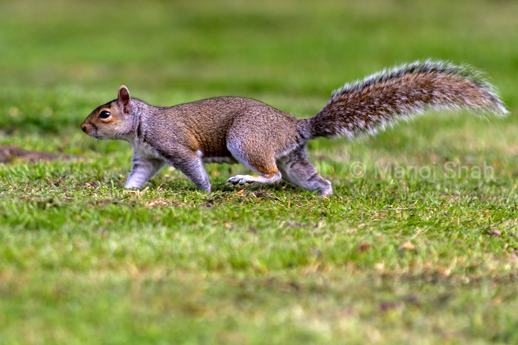 Grey Squirrel in a London park.