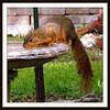 Squirrel Drinking From Birdbath