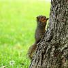 Baby Squirrel On Pecan Trunk