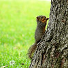 Baby Squirrel On Pecan Trunk
