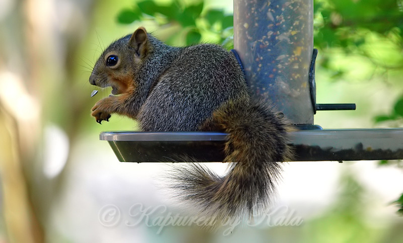 Baby Squirrels First Time In The High Feeder