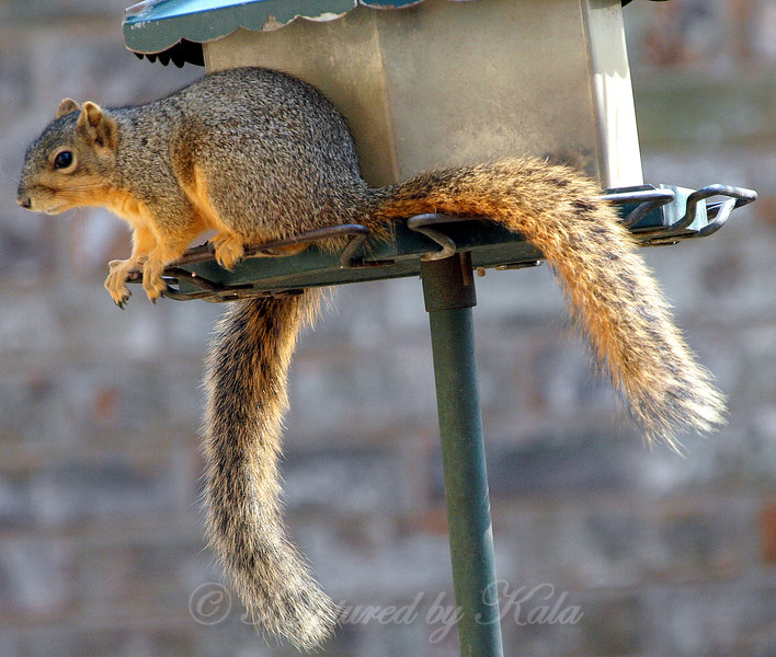 Another Case of the Strange Squirrel With Two Tails