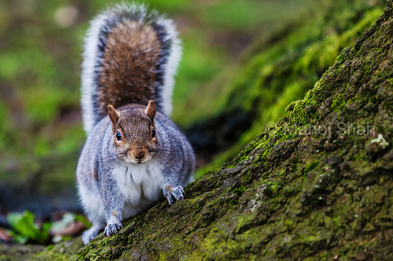 Grey squirrel in an English forest