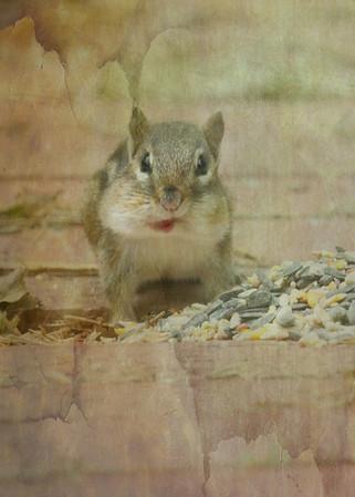 Squirrels, Chipmunks & Rabbits