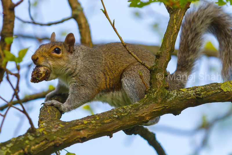 Grey squirrel with tree nut in mouth.