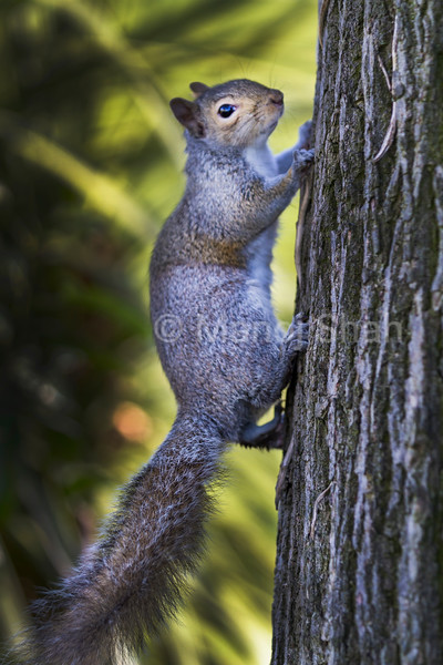 Grey Squirrel climbing to  the tree top.