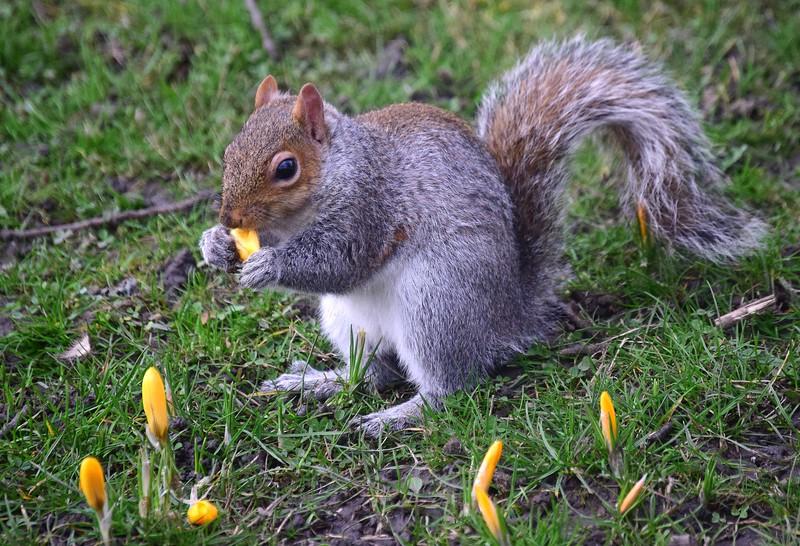 Squirrel eating crocuses