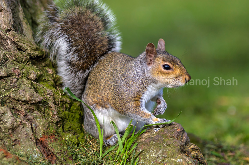 Grey Squirrel at the bottom of a tree in a London Park.