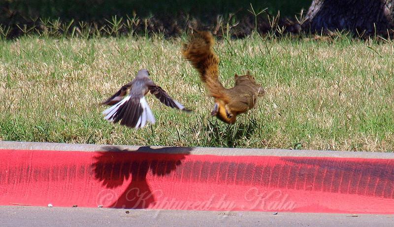 Mockingbird vs Squirrel Part 1