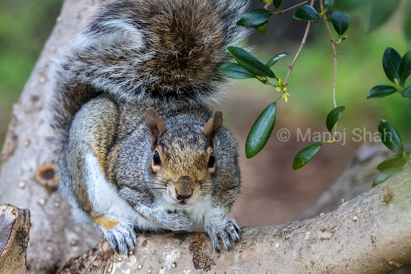 Grey Squirrel scanning from a tree.