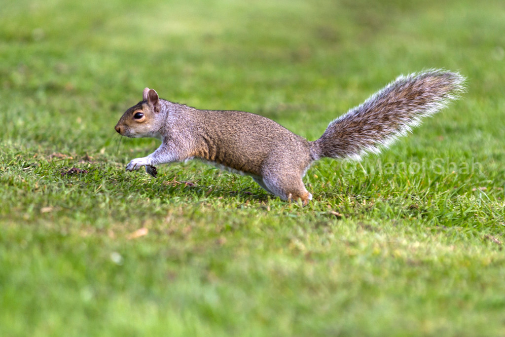 Grey Squirrel running to tree