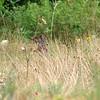 Hiding In The Prairie Grass