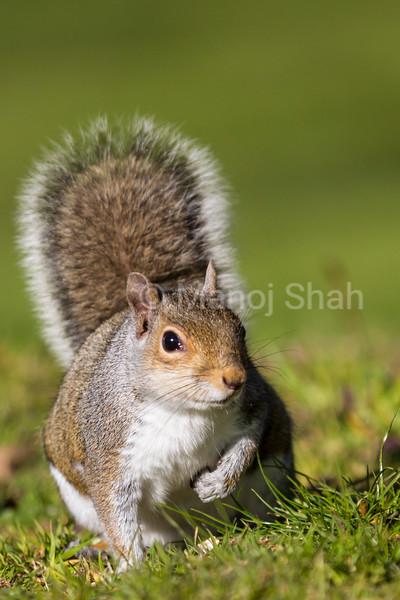 Grey Squirrel in a London park.