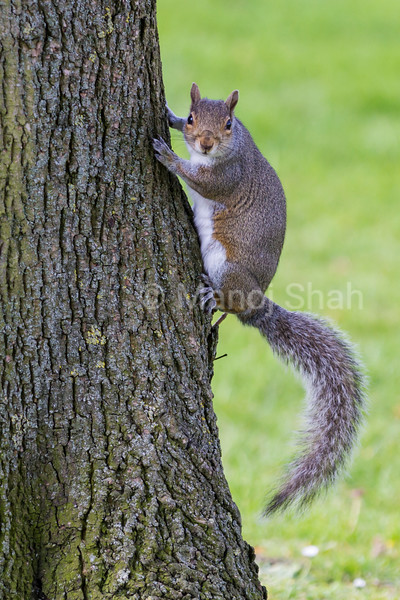 Squirrel on a tree in a London Park