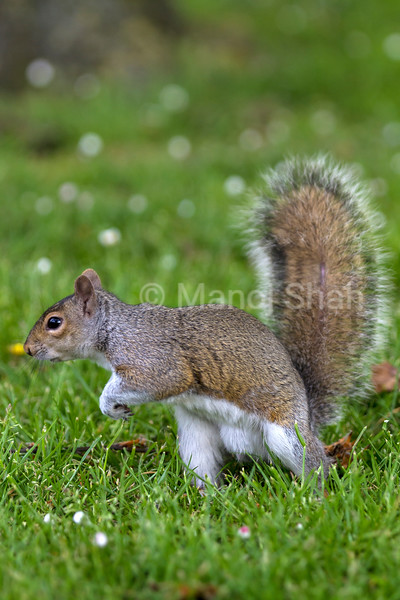 Grey Squirrel in a London park