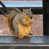 Squirrel Having A Picnic