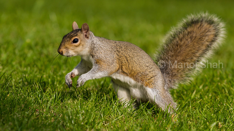Grey Squirrel running.